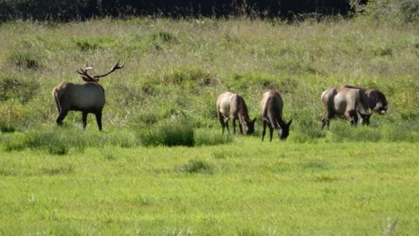 Wapitis de Roosevelt aire d'observation de Dean Creek