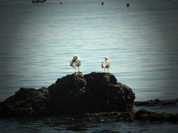 Les mouettes de Collioure