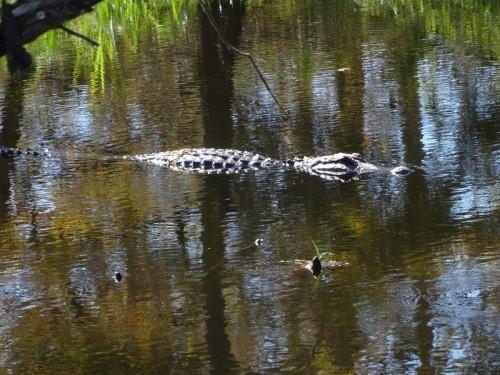 Sur la route de Lafayette Un Alligator