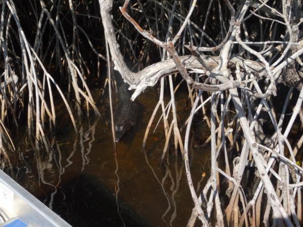 Everglades 2016 notre 1er alligator