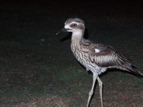 Œdicnème bridé D'Australie Cet oiseau nocturne est carnivore. Il se nourrit de petits animaux : grenouilles, myriapodes, araignées, insectes, mollusques, crustacés, serpents, lézards.