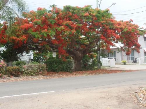 Townsville le chêne soyeux d'Australie