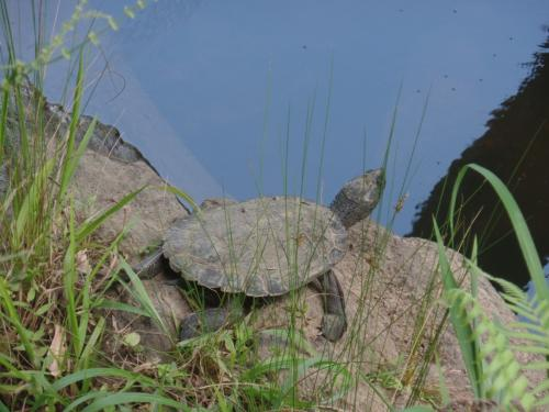 Eungella une tortue