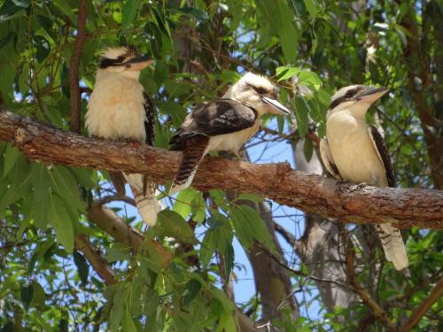 Eungella des kookaburras d'Australie