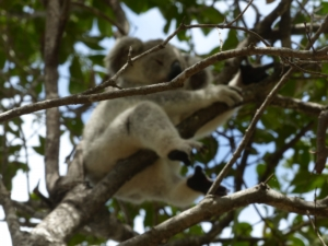 Magnectic Island notre premier koala
